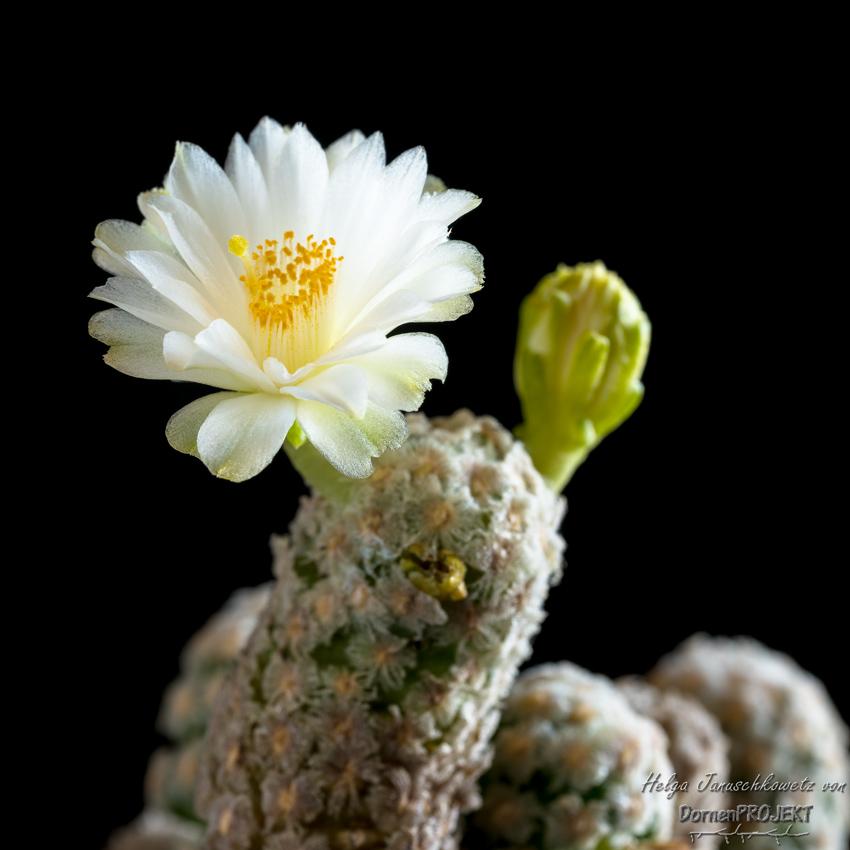 Mammillaria theresa fa. albiflora©DornenProjekt.de
